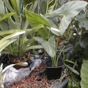 Image of Alocasia aequiloba  N.E. Br..