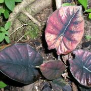 Image of Alocasia infernalis  .