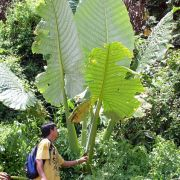 Image of Alocasia robusta  .