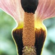 Image of Amorphophallus abyssinicus  (Rich.) N. E. Br..