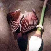 Image of Amorphophallus aphyllus  (Hook.) Hutch..