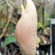 Image of Amorphophallus bulbifer  (Roxb.) Bl..
