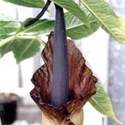 Image of Amorphophallus calabaricus  N. E. Br..