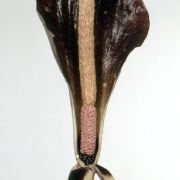 Image of Amorphophallus costatus  Hett..