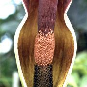 Image of Amorphophallus dactylifer  Hett..