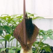 Image of Amorphophallus declinatus  Hett..