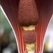 Image of Amorphophallus dracontioides  (Engl.) N.E. Br..