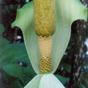 Image of Amorphophallus johnsonii  N.E. Br..