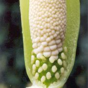Image of Amorphophallus linearis  Gagn..