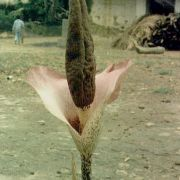 Image of Amorphophallus nanus  H. Li & C.L. Long.