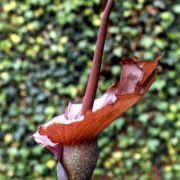 Image of Amorphophallus richardsiae  Ittenb..