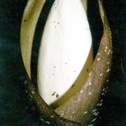 Image of Amorphophallus tonkinensis  Engl. & Gehrm..