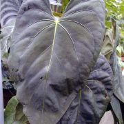 Image of Anthurium dressleri  Croat.