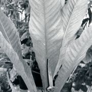 Image of Anthurium sparreorum  Croat.