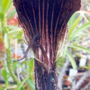 Image of Arisaema asperatum  N.E. Brown.