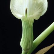 Image of Arisaema candidissimum  W. Smith.