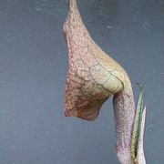Image of Arisaema cordatum  N.E. Brown.