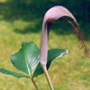 Image of Arisaema fimbriatum  Masters.