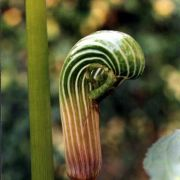 Image of Arisaema galeatum  N.E. Brown.