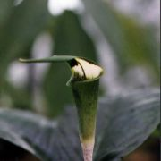 Image of Arisaema laminatum  Blume.