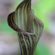 Image of Arisaema lobatum  Engl..