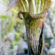 Image of Arisaema nepenthoides  (Wallich) Martius in Schott.