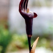 Image of Arisaema ternatipartitum  Makino.