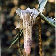 Image of Arisaema wattii  Hook f.
