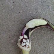 Image of Arisarum proboscideum  L..