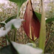 Image of Arum balansanum  R.R. Mill.