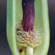 Image of Arum dioscoridis  Sm. in Sibthorp & Smith.