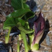 Image of Arum pictum  L. f..