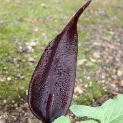 Image of Arum purpureospathum  P.C. Boyce.