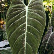 Image of Philodendron andreanum  Devans., Buchet & Guillaumin.