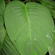Image of Philodendron curvipetiolatum  Croat.