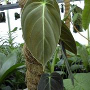 Image of Philodendron melanochrysum  Linden & Andre.