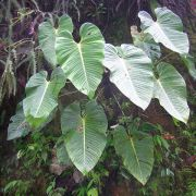 Image of Philodendron melanonervia  Croat.