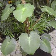 Image of Philodendron rugosum  J.Bogner & G.S.Bunting.