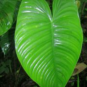 Image of Philodendron tenue  K. Koch & Augustin.