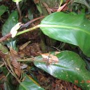 Image of Philodendron wittianum  Engl..