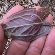 Image of Pinellia cordata  N.E. Br..