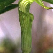 Image of Arisaema engleri  Pampan..