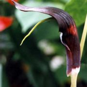 Image of Arisaema filiforme  Blume Thwaites.