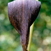 Image of Arisaema sazensoo  (Blume) Makino.